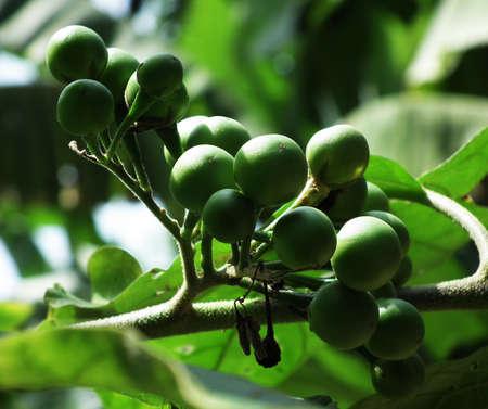 genera:  Solanum nigrum fruit