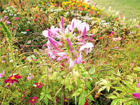 flower spider: Purple cleome flower,spider flower in the garden
