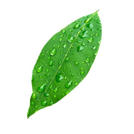 kropla deszczu: isolate green leaves with rain drop Zdjęcie Seryjne