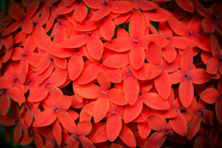 west indian: West Indian Jasmine red flower background Stock Photo