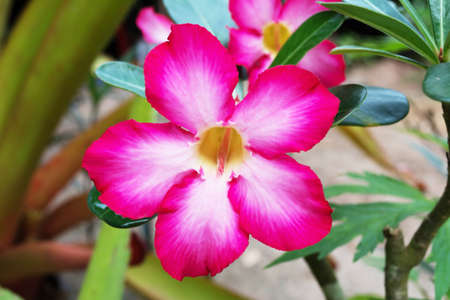 adenium: Pink Adenium flower ,pink desert rose flower Stock Photo