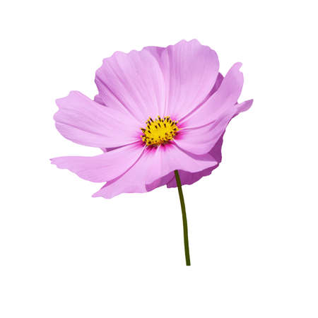 cosmos flower: isolate pink cosmos flower