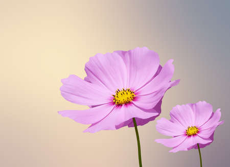 cosmos flower: pink cosmos flower on grung  ,sepia  background Stock Photo
