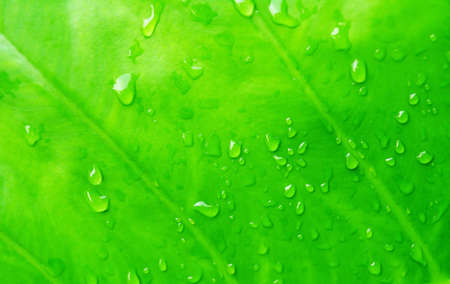 lea: green lea with dew drop fresh nature background