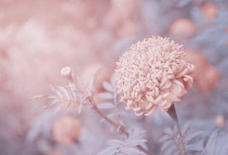 vintage background: Vintage marigold flower background Stock Photo