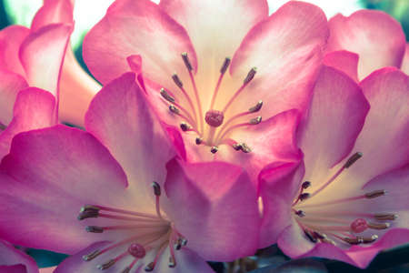 Cherry blossom  SAKURA flower  wild Himalayan cherry flowers.background Stock Photo