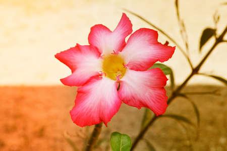 Pink  desert  rose flower  background Stock Photo