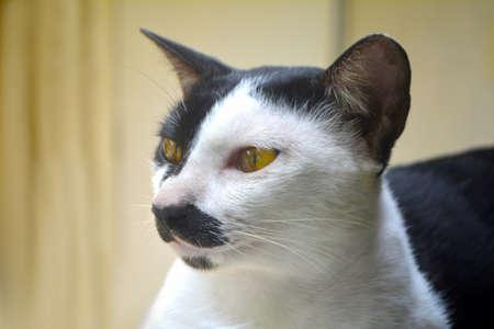 cute thai cat animal background
