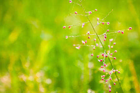 grass flower with dews drop and  bokeh light from morning sunrise Stock Photo