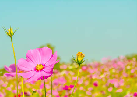fresh spring nature  pink cosmos flower with bokeh background