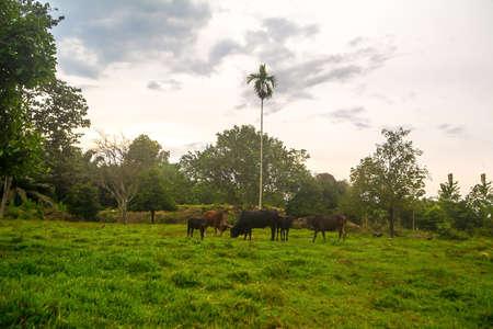cow grazing grass in field