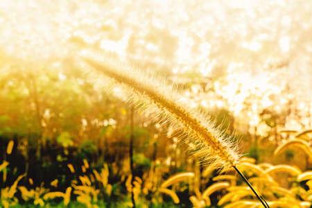 grass flower  at sunrise  spring  nature wallpaper   background Reklamní fotografie