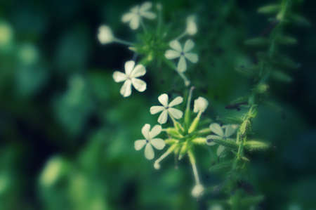 Soft focus white flower blooming  spring nature background