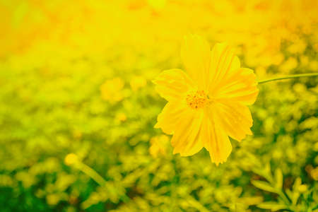 Yellow cosmos blooming at sunrise  and beutiful bokeh , fresh spring nature wallpaper backgroound