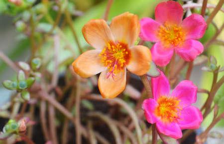 colorful Common Purslane spring nature flower backgroun Reklamní fotografie