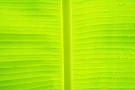 soft focus green banana leaf with dew drop  fresh nature background