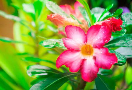 pink flower blooming after rain  fresh spring,summer  nature wallpaper background Banco de Imagens