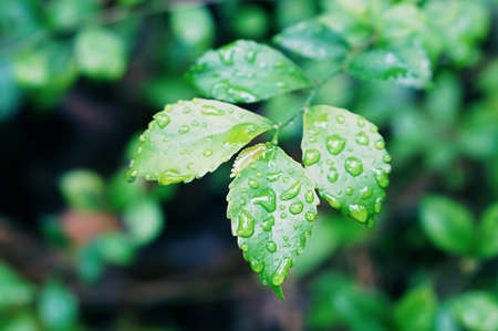 green leaves with water drops  relax  spring  fresh nature wallpaper background Banco de Imagens