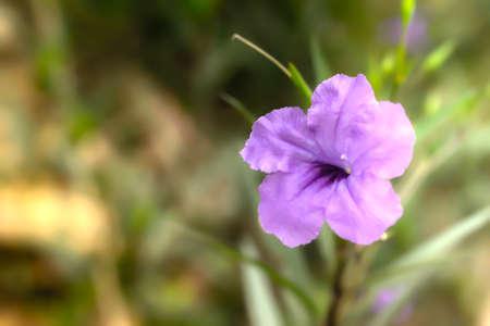 violet flower bloomin spring nature wallpaper background