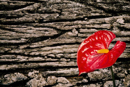 red flamingo flower  and black  concrete wall texture abstract spring background