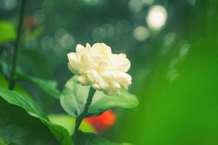 White Jasmine with green bokeh background