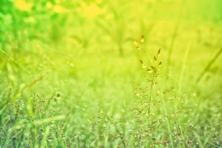 grass flower with dew drop   fresh  nature spring ,summer background