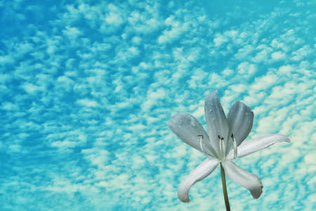white flower with rain drop  and blue sky,abstract ,spring nature wallpaper  background