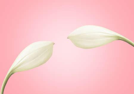 white flower  on pink pastel background   ,spring flower nature  background Reklamní fotografie