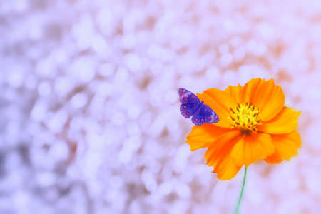 silver light  bokeh with yellow cosmos flower and butterfly  abstract  spring nature  wallpaper  background