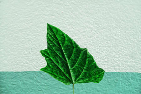soft  blue  color  of concrete wall paint texture with green leaf  abstract nature   background Archivio Fotografico - 129273177