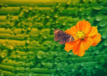 yellow cosmos flower  with brown butterfly   ,nature background Stock Photo