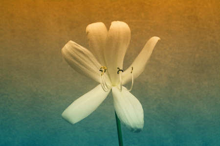 Big  white   lily  flower  blooming   spring  nature   background