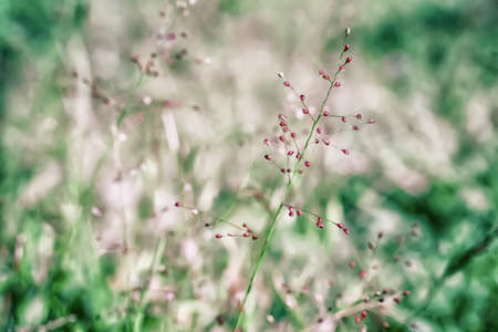 soft focus little pink grass flower  with green bokeh outdoor scence  spring nature background Stock Photo