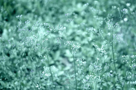 Soft focus Grass Flower  blooming   abstract spring ,natural   background Stock Photo