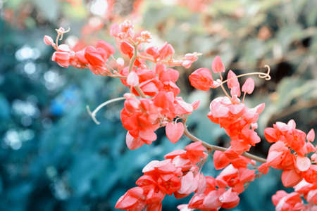 pink Coral  Vine  flower  blooming    and green light bokeh background
