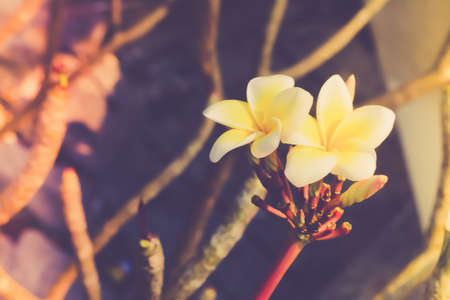 Plumeria spa  flower blooming spring nature background