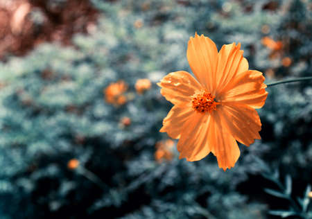 yellow cosmos blooming with blue bokeh background