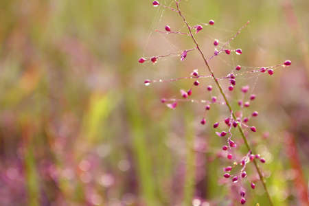 pink grass flower blooming   ,spring ,autum,nature   wallpaper background
