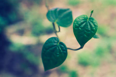 green leaves  heart shape , nature wallpaper  background
