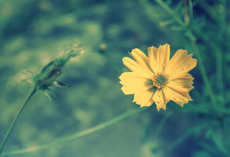 Yellow cosmos blooming  relax nature photo  background Stock Photo