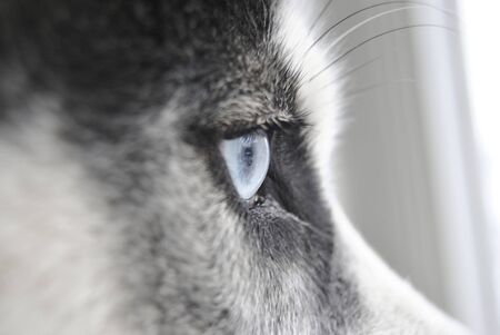 Close up eye of a husky dog waiting for the owner and watching in the window
