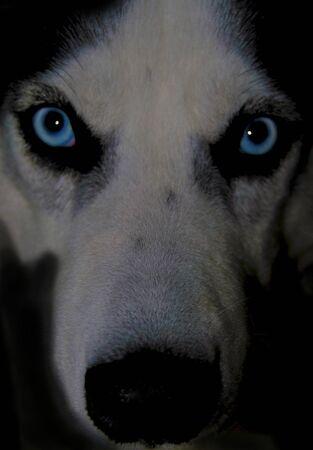 Close up face of husky dog with blue eyes Imagens