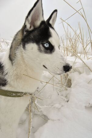 Close up face of husky dog with blue eyes in winter