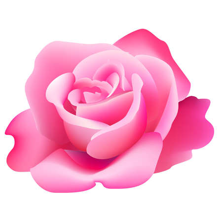 red fan: Beautiful pink rose Illustration