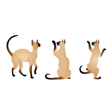 siamese: Sch�ne siamesische Katze  Illustration
