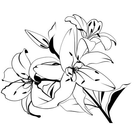 white lilly: Beautiful tropical lillies