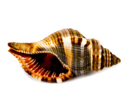 Beautiful exotic shell on white background photo
