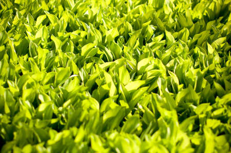 Lily of the valley in spring Stock Photo - 13572763