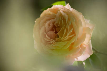 Beautiful  rose on the park Stock Photo - 13891001