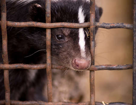 Skunk is in a cage 스톡 콘텐츠